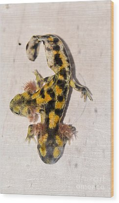 Two-headed Near Eastern Fire Salamande Wood Print by Shay Levy