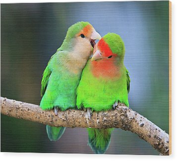 Two Peace-faced Lovebird Wood Print by Feng Wei Photography