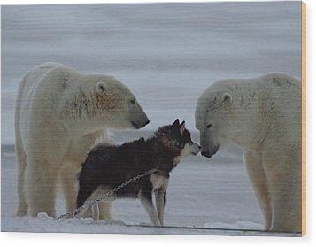 Two Polar Bears Ursus Maritimus Wood Print by Norbert Rosing
