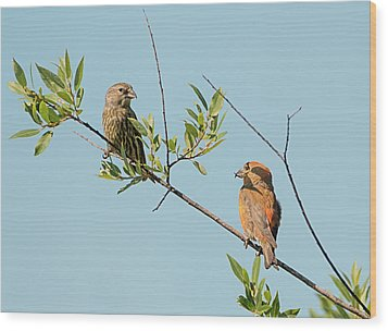 Two Red Crossbills Wood Print