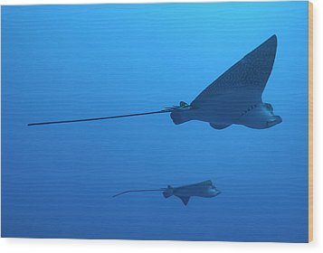 Two Swimming Spotted Eagle Rays Underwater Wood Print by Sami Sarkis