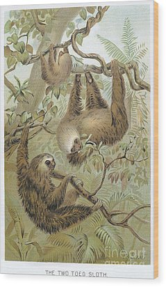 Two-toed Sloth Wood Print by Granger