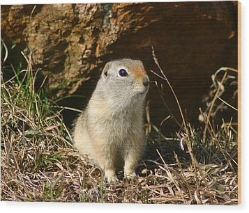 Wood Print featuring the photograph Uinta Ground Squirrel by Perspective Imagery