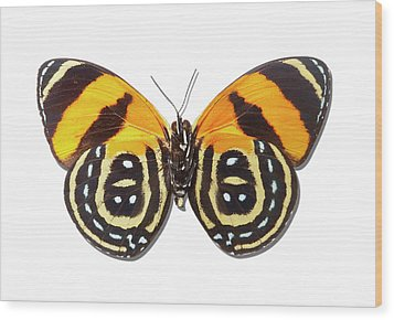 Underside Of Brush-footed Butterfly Of Peru Wood Print by MajchrzakMorel