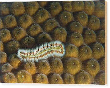 Wood Print featuring the photograph Undulating Bristle Worm by Jean Noren