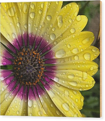 Daisy Up Close  Wood Print