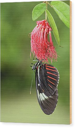 Wood Print featuring the photograph Upon A Red Blossom by Dawn Currie