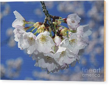 Wood Print featuring the photograph Vancouver 2017 Spring Time Cherry Blossoms - 11 by Terry Elniski