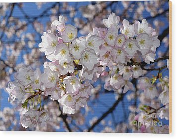 Wood Print featuring the photograph Vancouver 2017 Spring Time Cherry Blossoms - 12 by Terry Elniski