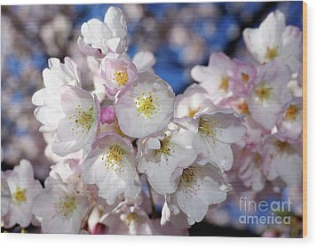 Wood Print featuring the photograph Vancouver 2017 Spring Time Cherry Blossoms - 13 by Terry Elniski