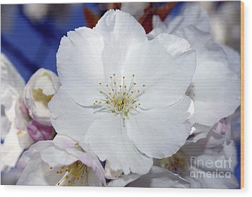 Wood Print featuring the photograph Vancouver 2017 Spring Time Cherry Blossoms - 2 by Terry Elniski