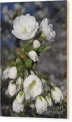 Wood Print featuring the photograph Vancouver 2017 Spring Time Cherry Blossoms - 3 by Terry Elniski