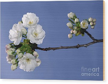 Wood Print featuring the photograph Vancouver 2017 Spring Time Cherry Blossoms - 4 by Terry Elniski