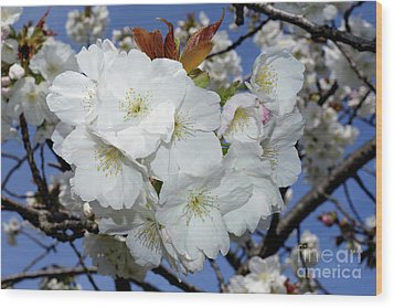 Wood Print featuring the photograph Vancouver 2017 Spring Time Cherry Blossoms - 5 by Terry Elniski