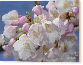 Wood Print featuring the photograph Vancouver 2017 Spring Time Cherry Blossoms - 7 by Terry Elniski