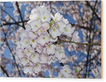 Wood Print featuring the photograph Vancouver 2017 Spring Time Cherry Blossoms - 9 by Terry Elniski