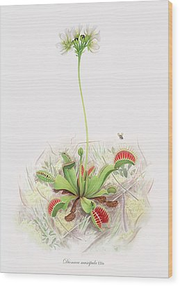 Venus Fly Trap  Wood Print by Scott Bennett