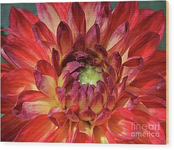 Variegated Dahlia Beauty Wood Print
