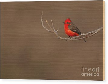 Vermillion Flycatcher On Early Spring Perch Wood Print by Max Allen