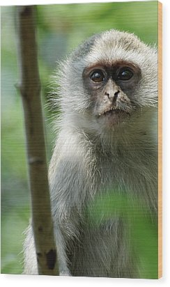 Vervet Monkey Wood Print by Robert Shard