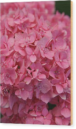 Very Pink Hydrangea Blossoms 2578 H_2 Wood Print