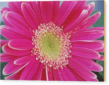 Vibrant Pink Gerber Daisy Wood Print by Amy Fose