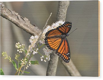 Viceroy Butterfly Wood Print by Gerald Hiam