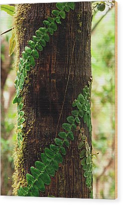 Vining Fern On Sierra Palm Tree Wood Print by Thomas R Fletcher