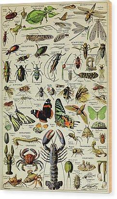 Vintage Illustration Of Various Invertebrates Wood Print