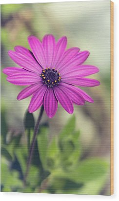 Wood Print featuring the photograph Vintage Purple Daisy  by Saija Lehtonen