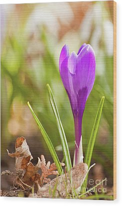 Violet Crocus Wood Print by Christine Amstutz