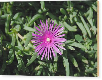 Ice Plant Wood Print by Isam Awad