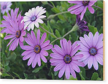 The African Daisy Flowers Wood Print