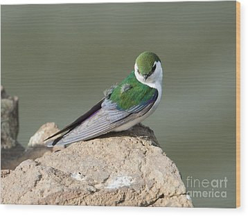 Violet-green Swallow Wood Print by Mike Dawson