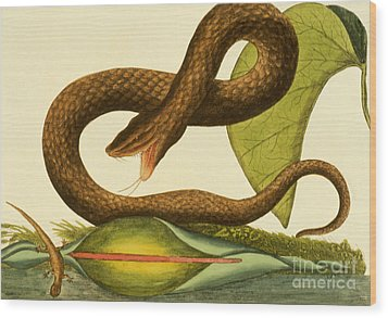 Viper Fusca Wood Print by Mark Catesby