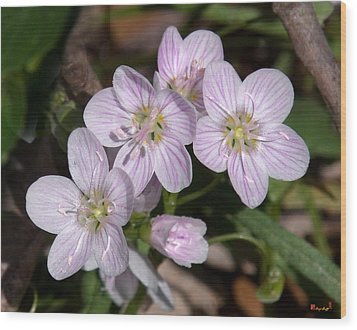 Virginia Or Narrowleaf Spring-beauty Dspf041 Wood Print