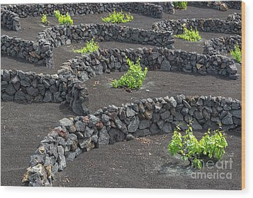 Volcanic Vineyards Wood Print by Delphimages Photo Creations