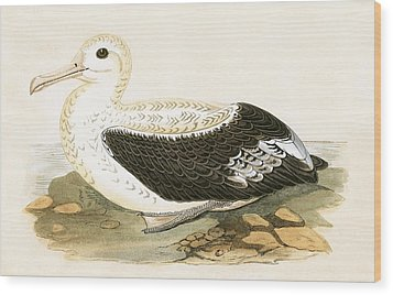 Wandering Albatross Wood Print by English School