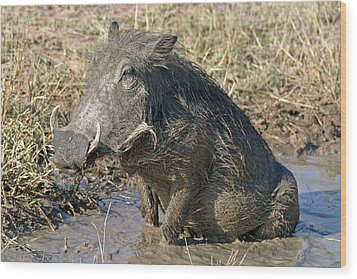 Wood Print featuring the photograph Warthog Taking Mud Bath by Riana Van Staden