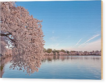 Washington Dc Cherry Blossoms Wood Print