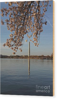 Washington Monument With Cherry Blossoms Wood Print by Megan Cohen