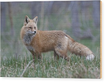 Wood Print featuring the photograph Watchful by Gary Lengyel