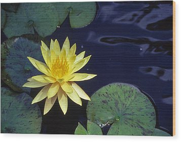 Water Lilly - 1 Wood Print by Randy Muir