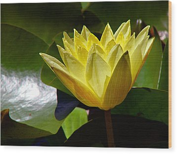 Water Lily Fc  Wood Print