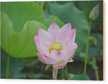 Waterlily Blossom With Seed Pod Wood Print by Linda Geiger