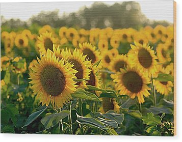 Waving Sunflowers In A Field Wood Print