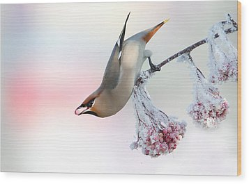 Waxwing Feeding  Wood Print