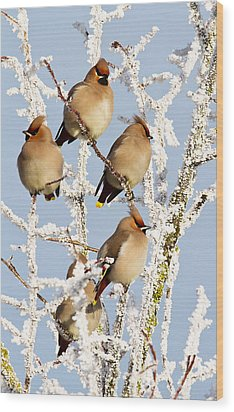Waxwings And Hoar Frost Wood Print