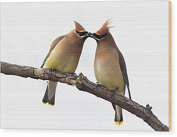 Waxwings In Love Wood Print by Mircea Costina Photography