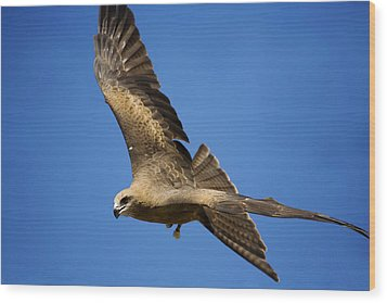 Wedgetail Eagle Flight Wood Print by Mike  Dawson
